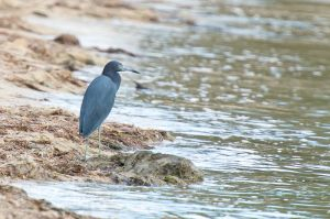 Little Blue Heron | Egret caerulea