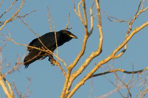 Cuban Crow | Corvus nasicus
