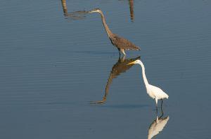 Great Blue Heron | Ardea herodias