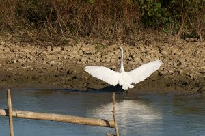 Greater White Egret | Ardea alba
