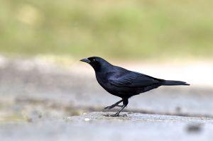 Cuban Blackbird | Dives antroviolacela