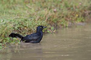 Great Antillean Grackle | Quiscalus niger