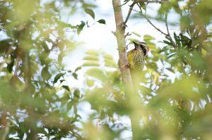 Cuban Green Woodpecker | Xiphidiopicus percussus