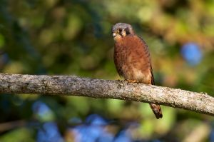 Americal Kestrel | Falco sparverius