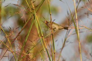 Yellow-faced Grassquit | Tiaris olivacea