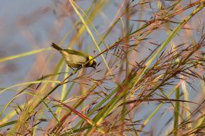 Cuban Grassquit | Tiaris canora