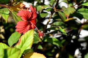 Cuban Emerald | Chlorostilbon ricordii
