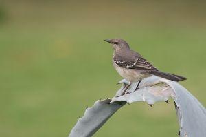 Northern Mockingbird | Mimus polyglottos