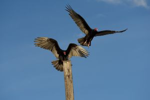 Turkey Vulture | Cathartes aura