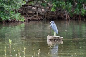 Little Blue Heron | Egret caerulea