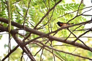 American Redstart | Setophaga ruticilla