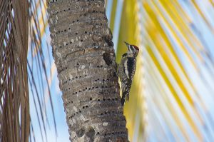 Yellow-bellied Sapsucker| Geelbuiksapspecht