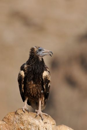 Egyptian Vulture Juv.