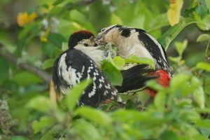 Great Spotted Woodpecker (juv.)