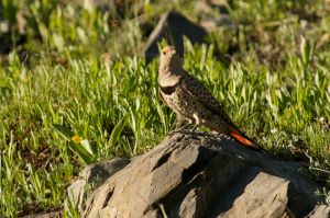 Norhern Flicker