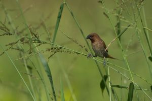 Scaly-breasted Munia (Thailand)