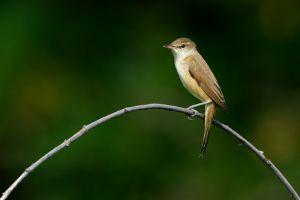 Oriental Reed Warbler (Thailand)