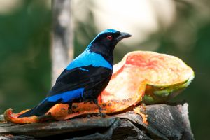 Asian Fairy Bluebird (capt.) | Thailand