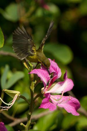Olive-backed Sunbird - fem. (Thailand0