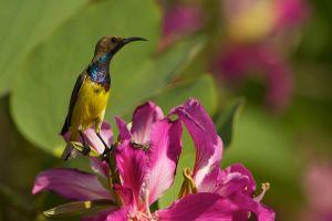 Olive-backed Sunbird (Thailand)
