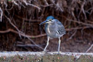 Striated Heron (Thailand)