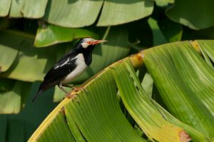 Asian Pied Starling (Thailand)
