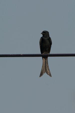 Black Drongo (Thailand)