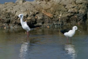 Black-winged Stilt (Thailand)