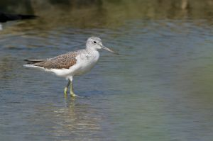 Common Greenshank (Thailand)