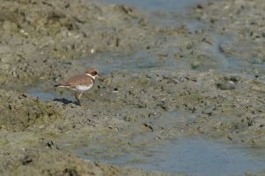 Little Ringed Plover (Thailand)