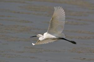 Little Egret (Thailand)