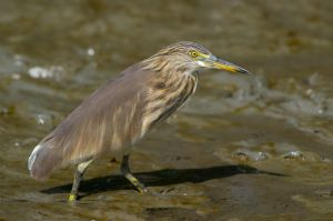 Chinese Pond Heron (Thailand)