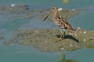 Common Snipe (Thailand)