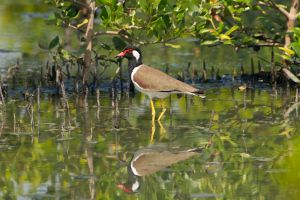 Red-wattled Lapwing (Thailand)