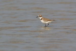 Kentish Plover (Thailand)