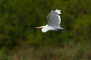 Great Egret (Thailand)