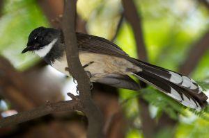 Pied Fantail (Thailand)