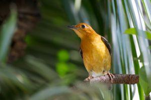 Orange-headed Thrush (Thailand)