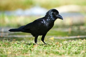 Large-billed Crow (Thailand)