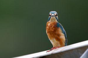 Common Kingfisher (Thailand)