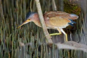 Little Heron (Thailand)