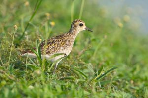 Pacific Golden Plover (Thailand)