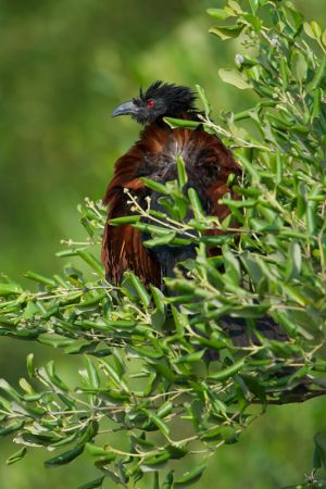 Greater Coucal (Thailand)