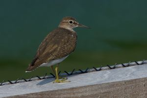 Common Sandpiper (Thailand)