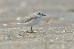 White-faced Plover (Thailand)