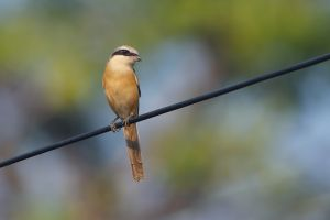 Brown Shrike (Thailand)