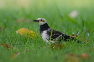 Black-collared Starling (Thailand)