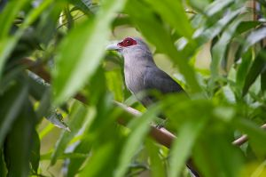 Green-billed Malkoha (Thailand)