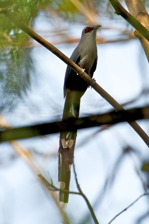 Green-billed Malkoha (Thailand)