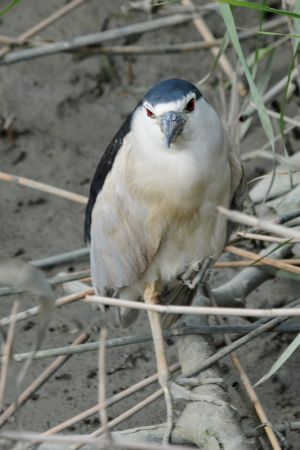 Black-crowned Night Heron (Taiwan)